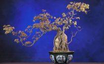 كيف تزرعين شجرة بونساي في منزلك؟