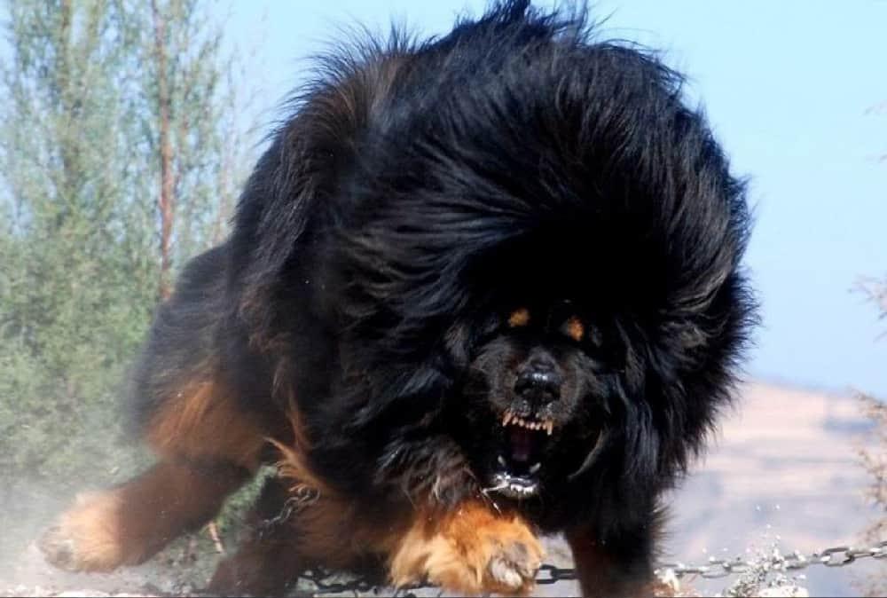 كلب التبت العملاق