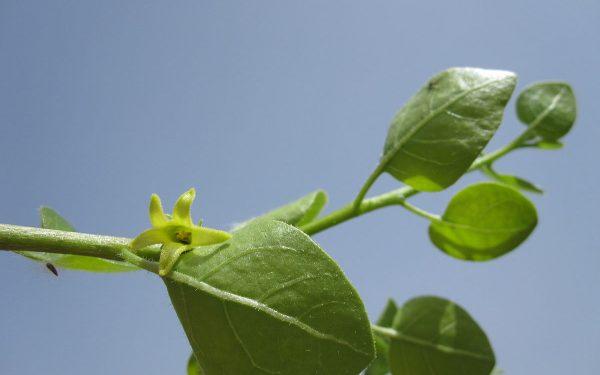 قاومي الرعاش بالنيكوتين النباتي