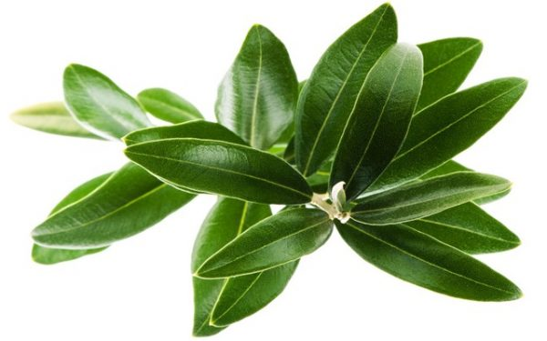 تعرفي على فوائد أوراق شجرة الزيتون الصحية