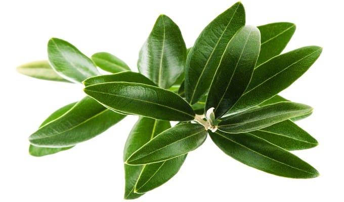 فوائد أوراق شجرة الزيتون