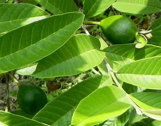 فوائد-ورق-الجوافة